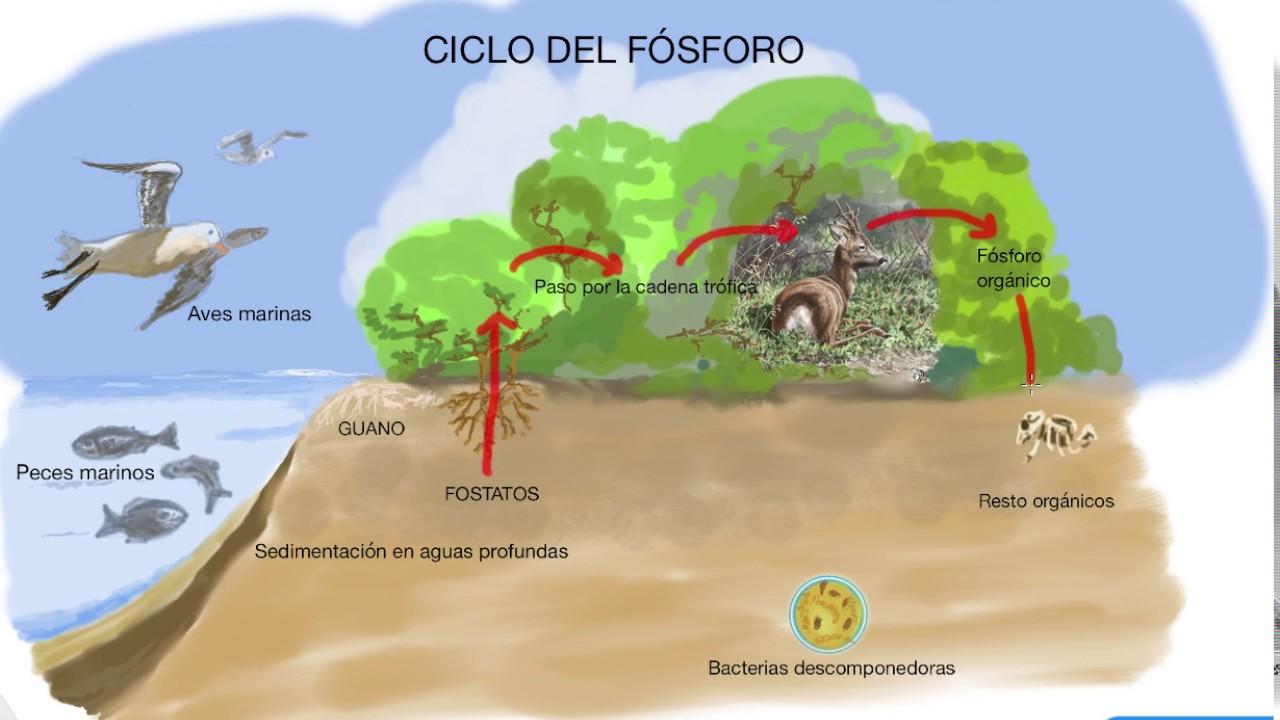 El Ciclo Del Fósforo Qué Es Importancia Y Etapas 2021