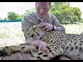 Massaging A Cheetah To Sleep | Masseur For Big Cat Falls Asleep In Man's Arm | Ultimate Relax ASMR
