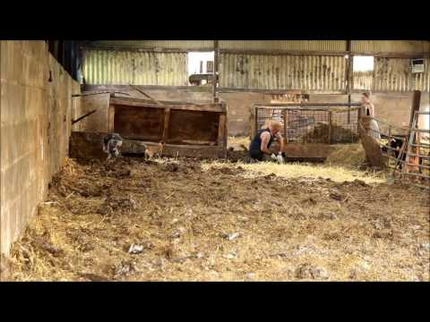 Vermin hounds out on a rat job. Earthdog Border Terriers