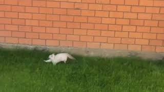 Зайцы на прогулке.Сияние Тайги питомник Иркутск.невские Маскарадные кошки
