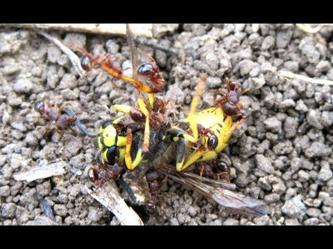 Wasp Attacked By Ants - Fight For Survival In The Insect World
