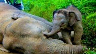 Bayi Gajah Pygmy Diselamatkan
