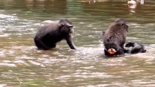 Repeat youtube video macaca nigra