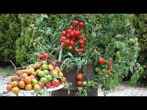 Огромный урожай - томаты в бочке!  ЭМ компост от фитофторы