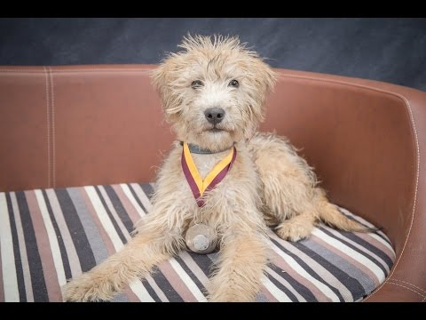 Moses - Wheaton Terrier x Poodle Puppy - 3 Weeks Residential Dog Training