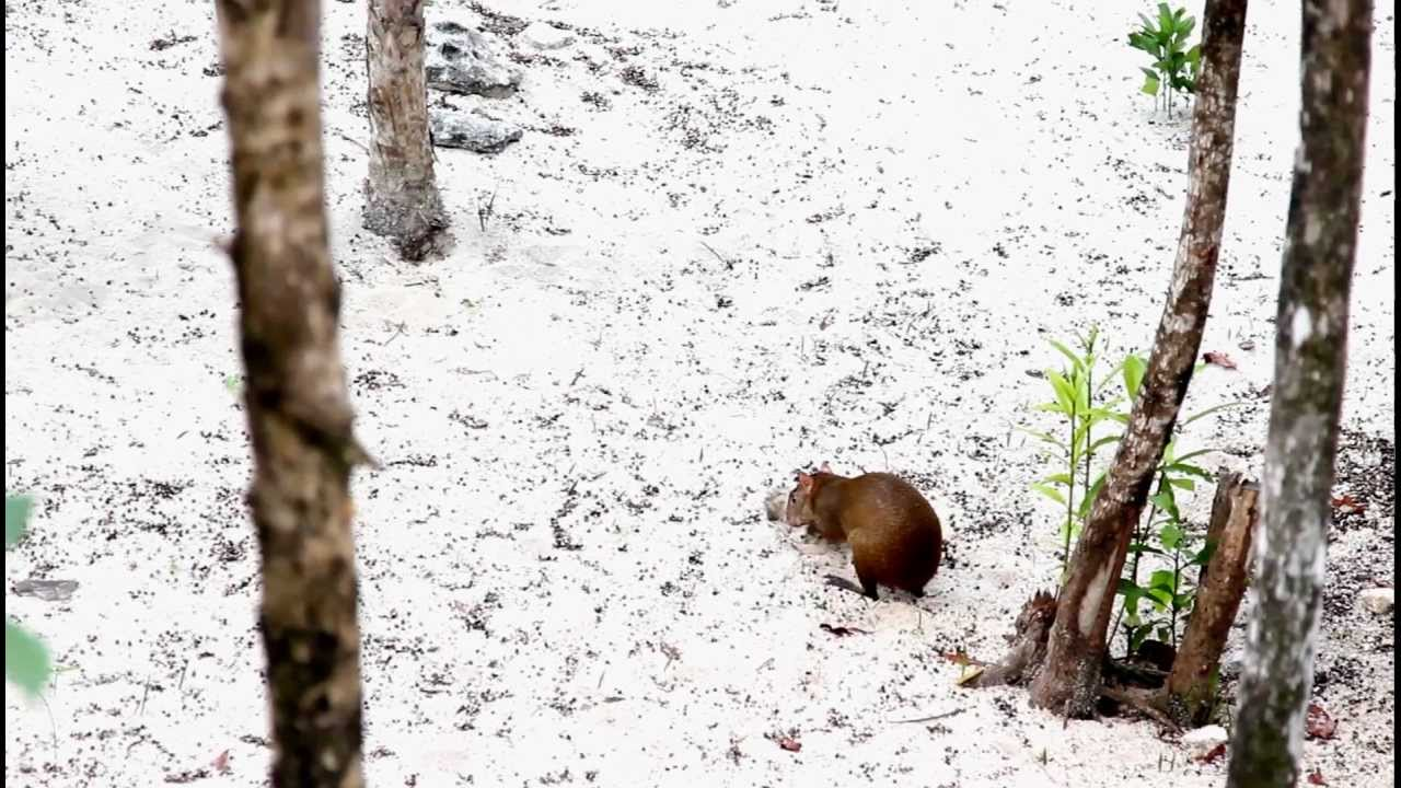 Agouti Outside Emerald Suite Valentin Imperial Maya Resort