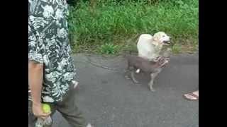 私の首にジャイ子(犬)のリードをひっかけて散歩していたらこんなこと...