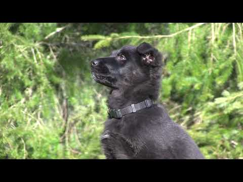 Kraftwerk K9 German shepherd puppy showing ideal eye contact!