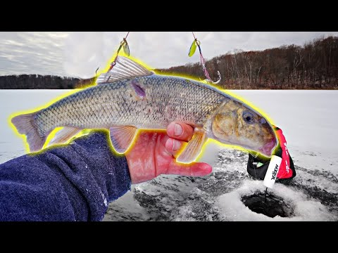Using GIANT LIVE SUCKERS On EARLY Ice!!! (Tip Up Fishing)