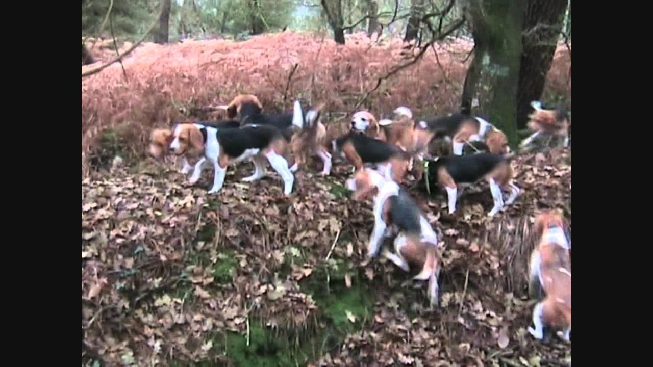 chasse beagle - YouTube