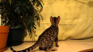 Бенгальский котёнок Шерри.