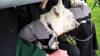 Westie Listening To Pipe Band In Kinross Perthshire Scotland