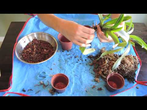 repotting paphiopedilum orchids lady slipper youtube. Black Bedroom Furniture Sets. Home Design Ideas