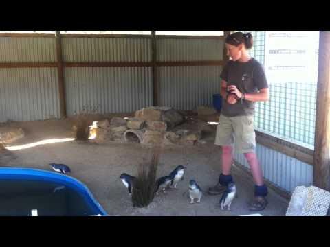 Penguin Feeding show Tasmania Zoo