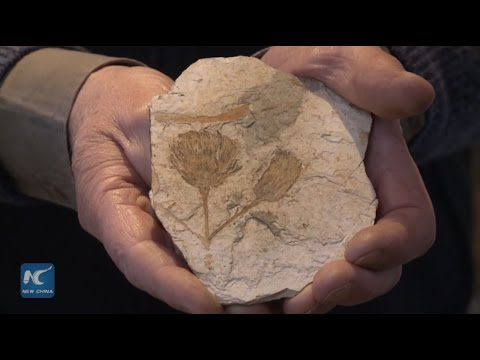 Oldest flower fossil exhibited at private museum in Argentina
