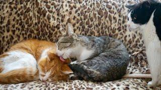 19歳のお年寄り猫(アミ太郎)が好きなおはぎちゃんと元気君です。 Subs...