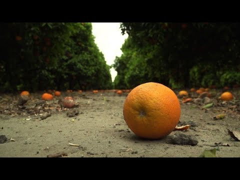 California fighting to save disease-threatened citrus trees