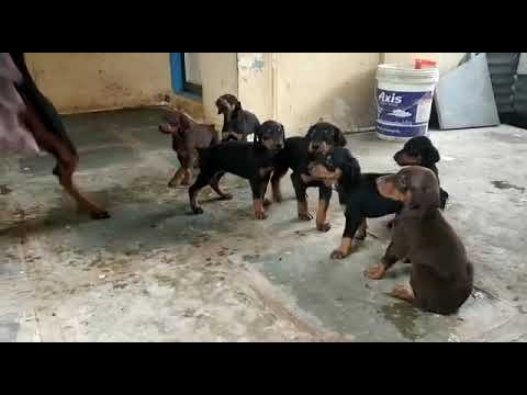 Doberman Puppies available call 7275863266 / 9140752208