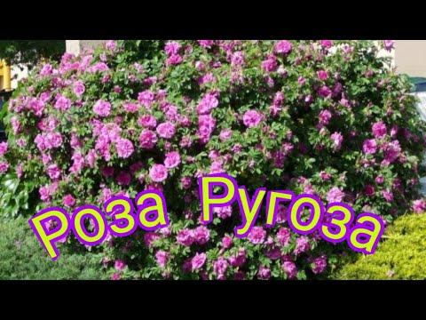 Роза Ругоза, посадка.