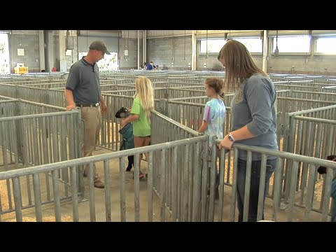 Showing Livestock At The Fair – Behind The Scenes