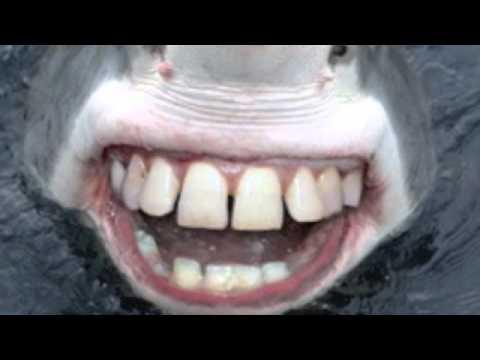 TIBURON BLANCO SE COME A GATO - YouTube