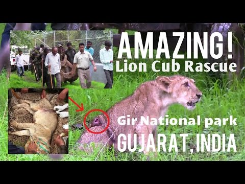 WATCH AMAZING LION CUB RESCUE. During monsoon being relief for infested maggots in Gir forest