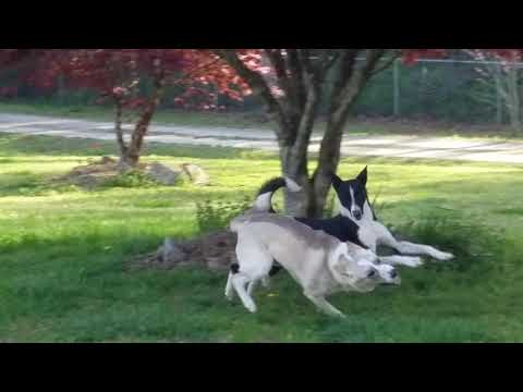 Canaan Dogs at Play