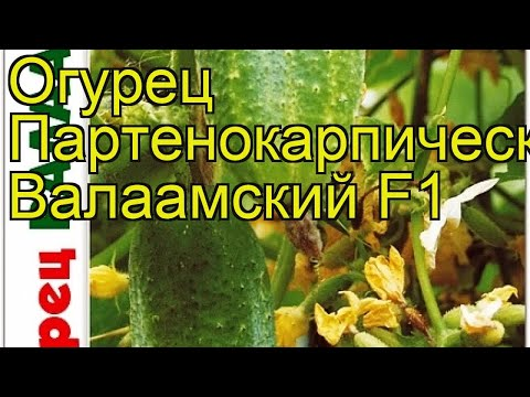 Огурец партенокарпический Валаамский F1. Краткий обзор, описание cucumis sativus Valaamskij F1