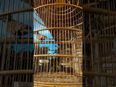 Calon Indukan PERKUTUT HITAM (Cemani) oleh Bunafit Farm