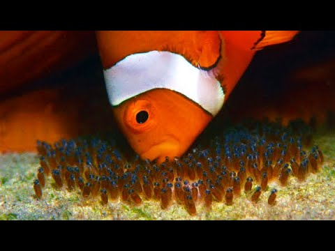 How Clownfish Breed - Complete Process (from Fry To Adult)