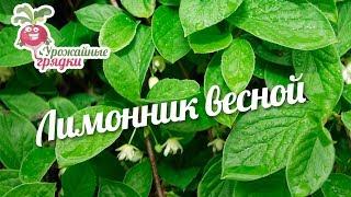 Лимонник весной #urozhainye_gryadki