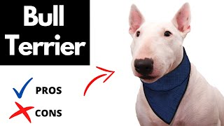 Bull Terrier Pros And Cons | The Good AND The Bad!!