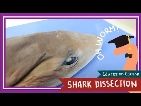 Dogfish Shark Dissection || Sink Or Swim [EDU]