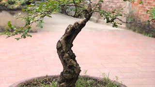 Kỹ thuật uốn cây Tường Vi ( #LNLV )   Lão Nông Làm Vườn