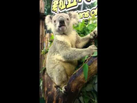 Коала ест эвкалипт. Сафари-парк Гуанчжоу
