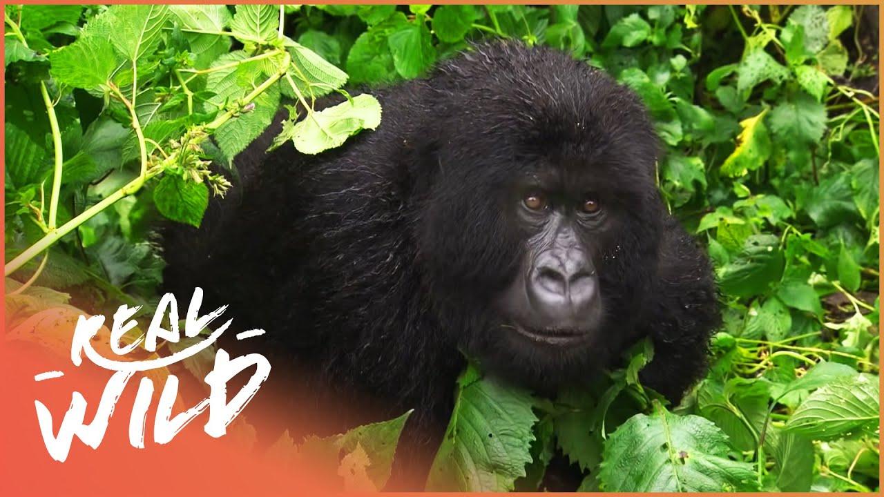 The Last Silverback Mountain Gorillas (Gorilla Documentary) | Gorilla Doctors | Real Wild