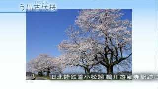 石川県小松市の桜の見どころを紹介します。