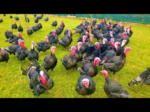 Turkeys Gobbling - Funny Turkey Gobble Videos