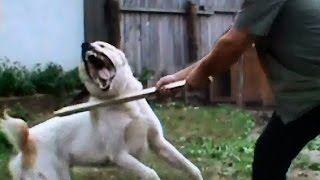 Dog fights Man defending 39. - Central Asian shepherd