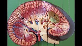 Дугообразные артерии почки на УЗИ