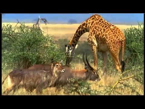 Животные Танзании: четвероногое золото Африки - фото