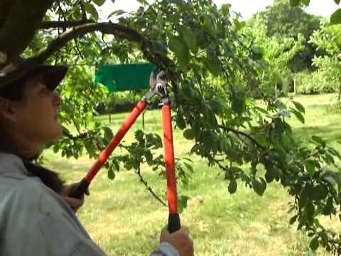 Plum Tree Pruning