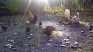 Poranne kurczaki