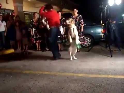 Собака танцует сальсу