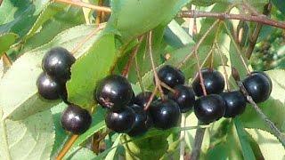 Food Forest Plants - 'Aronia Berry'  (Aronia Melanocarpa 'Viking')