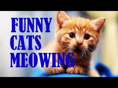 Funny Cats and Kittens Meowing compilation 2016 May - Funny cat video