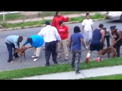 Crazy Pitbull Dog Fight in Spring Valley NY