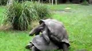 Turtle Sex at Australia Zoo