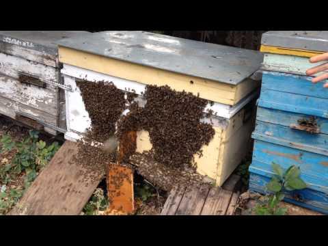 Оптимальный размер пчелосемей, что такое сильная пчелиная