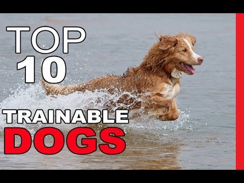 top-10-most-trainable-dog-breeds